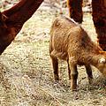 Baby Goat 3 by Scott Hovind
