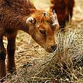 Baby Goat 4 by Scott Hovind