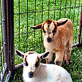 Baby Goats by Art Dingo