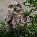 Baby Great Horned Owl by Doug Lloyd