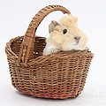 Baby Guinea Pig In A Wicker Basket by Mark Taylor