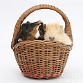 Baby Guinea Pigs In A Wicker Basket by Mark Taylor