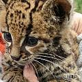 Baby Jaguar by Carol Ailles