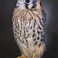 Baby Kestrel Falcon by Peg Runyan