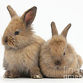 Baby Lionhead Rabbits by Mark Taylor
