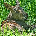 Baby Moose by Gary Beeler