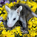 Baby Opossum In Flowers by Diana Haronis