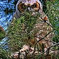 Baby Owl by Paul Marto
