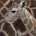 Baby Rothschild Giraffe  by Zssd