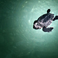 Baby Sea Turtle by Spinool - Bergen op Zoom
