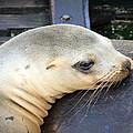 Baby Seal by Steve McKinzie