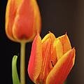 Baby Tulips Close Up Macro by Sandi OReilly