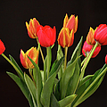 Baby Tulips by Sandi OReilly
