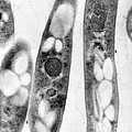 Bacillus Anthracis, Tem by Science Source