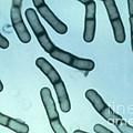 Bacillus Megaterium by ASM/Science Source
