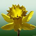 Backlit Daffodil by Brian Wallace