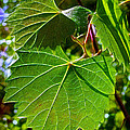 Backlit Leaves by Judi Bagwell