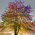 Backlit Maple In Autumn's Light by Rob Travis