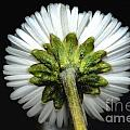 Backside Of A Daisy Flower by Mats Silvan