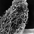 Bacteria On Sorghum Root Tip by Science Source