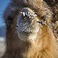 Bactrian Camel Camelus Bactrianus by David DuChemin