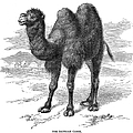 Bactrian Camel by Granger