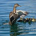 Bad Duck Rising by Janie North