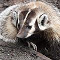 Badger - 0007 by S and S Photo