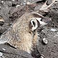 Badger - 0010 by S and S Photo