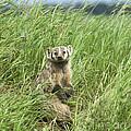 Badger by Bob Christopher