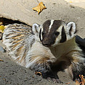 Badger by Steve McKinzie