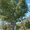 Balboa Tree by Carol Ailles