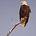 Bald Eagle - Pride Of America by Christine Stonebridge