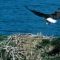 Bald Eagle And Chicks by Larry Allan