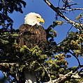 Bald Eagle by Anna Sullivan
