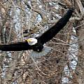 Bald Eagle At Full Wingspan by Crystal Heitzman Renskers