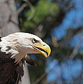 Bald Eagle At Mclane Center by Peter Gray