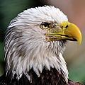 Bald Eagle by Bill Dodsworth