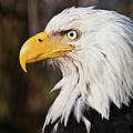 Bald Eagle by Chad Graham