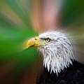 Bald Eagle Color  by Steve McKinzie