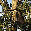 Bald Eagle Decending From Nest by Rob Green