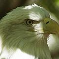 Bald Eagle by DiDi Higginbotham