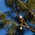 Bald Eagle by Ed Gleichman