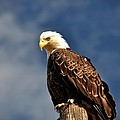 Bald Eagle Homer Alaska by Debra  Miller