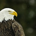 Bald Eagle In Ecomuseum Zoo by Steeve Marcoux