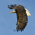 Bald Eagle In Flight by Tony Beck