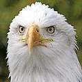 Bald Eagle  by Jack Schultz