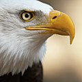 Bald Eagle by Jonatan Hernandez Photography