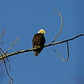 Bald Eagle by Martin Cooper