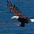 Bald Eagle On The Hunt by Beth Sargent